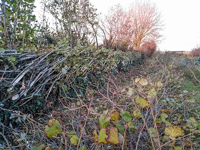 Hedgelaying at Skyegrove